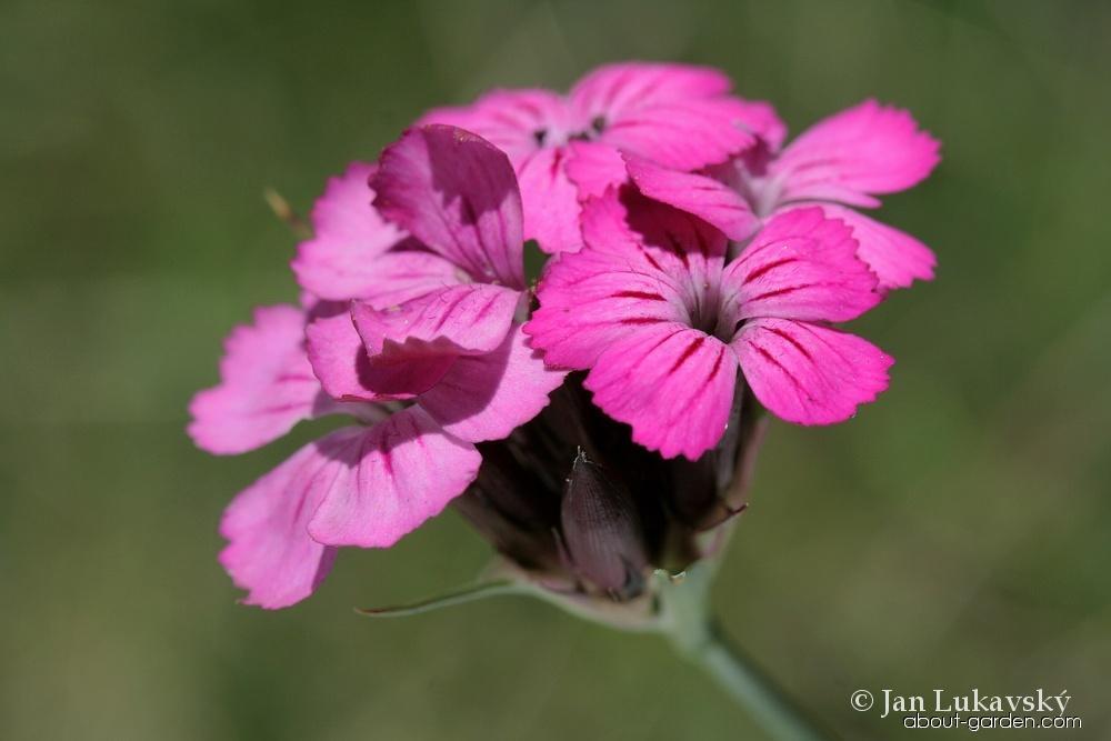 Hvozdík kartouzek širolistý (Dianthus carthusianorum subsp latifolius)