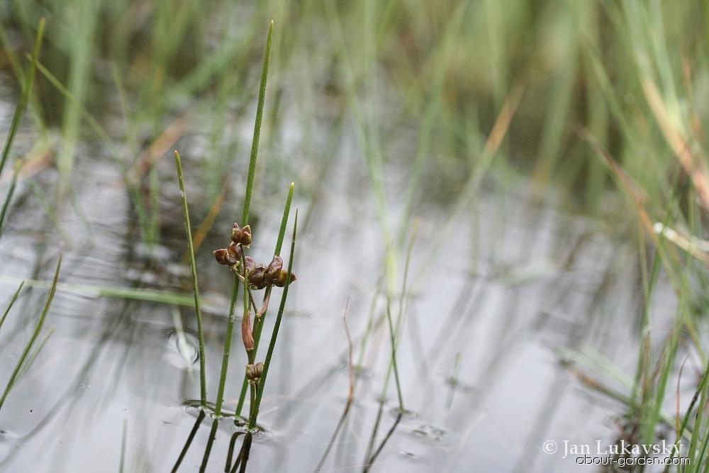 Blatnice bahenní (Scheuchzeria palustris)