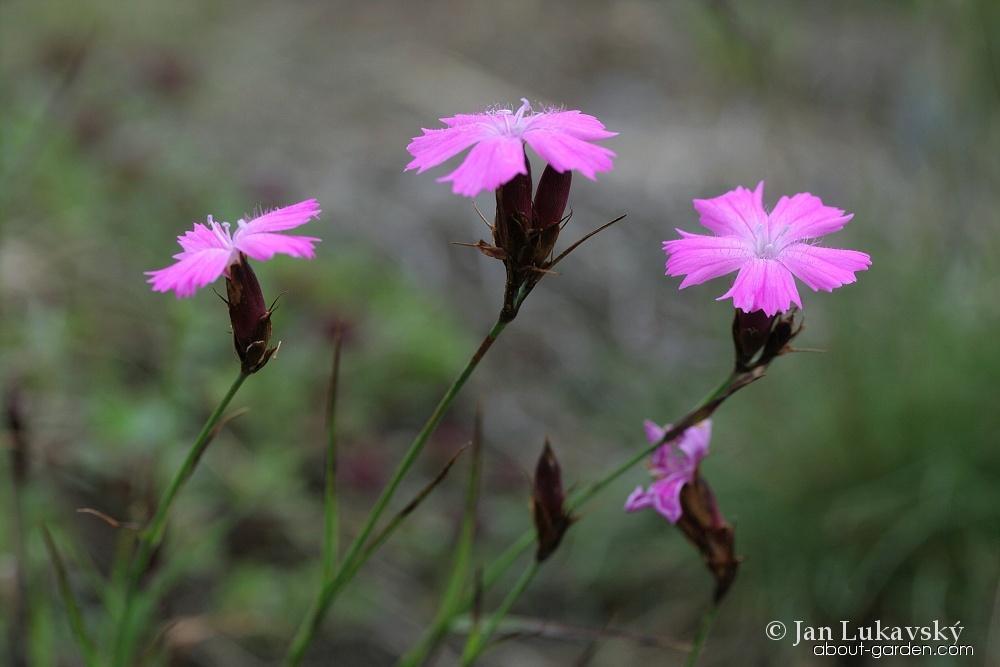 Hvozdík kartouzek sudetský (Dianthus carthusianorum subsp sudeticus)
