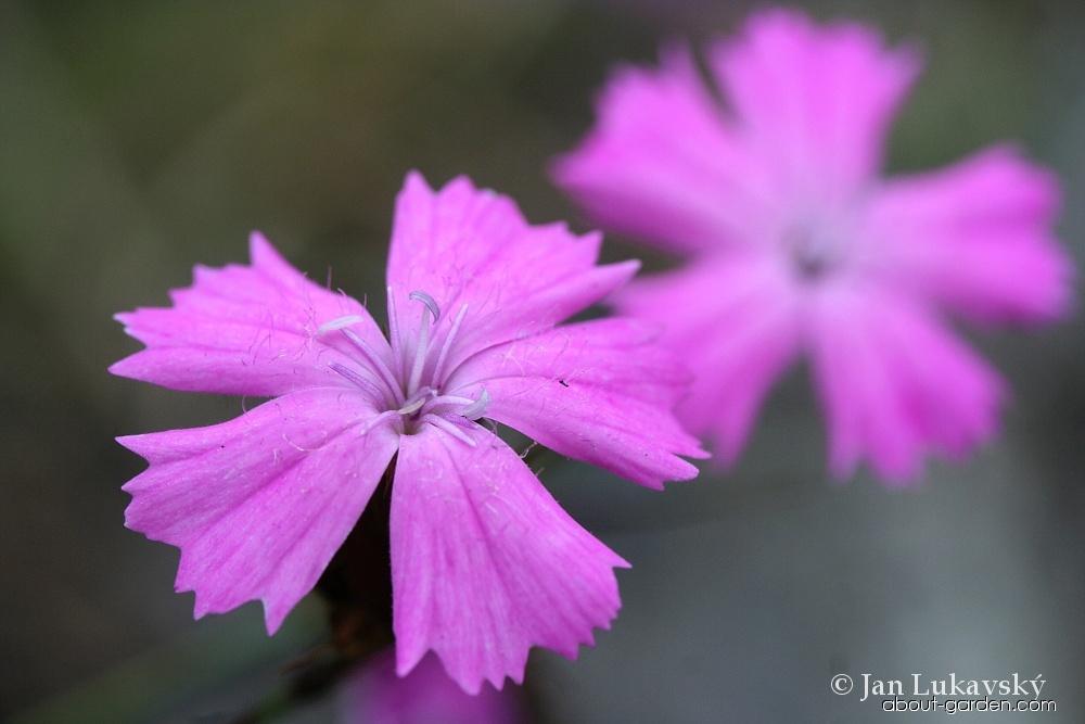 Hvozdík kartouzek sudetský - květ (Dianthus carthusianorum subsp sudeticus)