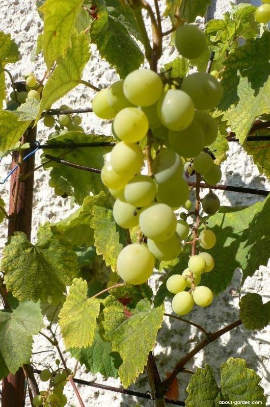 Réva vinná Ananasnyj (Vitis vinifera)