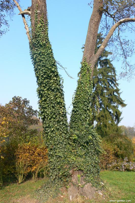 English ivy - Hedera helix