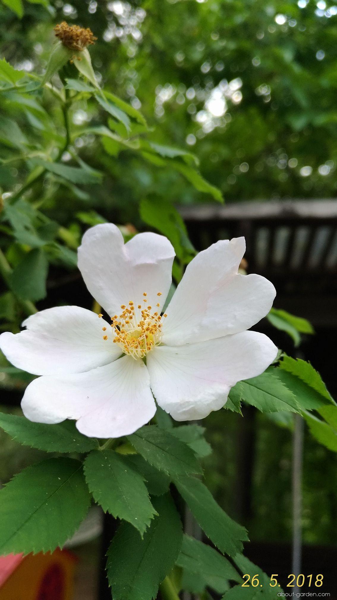 Růže šípková - květ (Rosa canina)