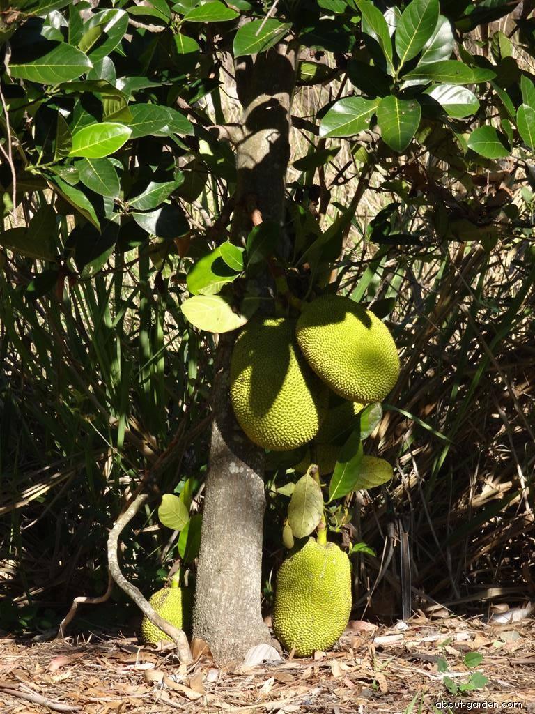 Chlebovník různolistý - plod, jackfruit (Artocarpus heterophyllus)