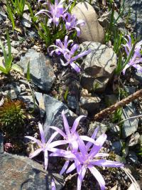 Colchicum bulbocodium   Spring Meadow Saffron plant