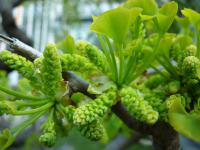 Ginkgo biloba   maidenhair tree twings