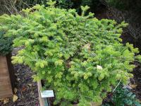 Abies alba   - European silver