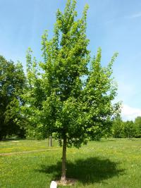 Acer campestre   - Common maple