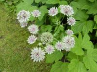 Astrantia major   astrantia flowers
