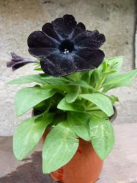 (Surfinia Sweetunia) Surfinie 'Black Satin'
