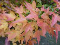 Acer tataricum subsp. ginnala   Amur Maple leaves