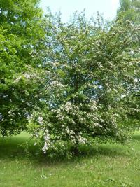 Crataegus laevigata   English hawthorn plant