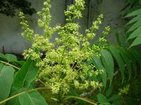 Ailanthus altissima   tree of heaven flowers