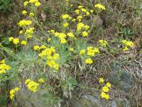 Aurinia saxatilis   basket of gold plant