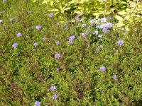 Aster dumosus 'Lady in Blue'  Rice Button Aster plant