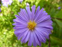 Aster dumosus  'Lady in Blue'  Rice Button Aster flowers