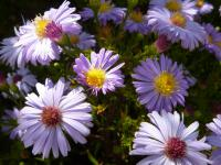 Aster dumosus  'Lilac Time'  Rice Button Aster flowers