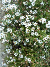 Aster dumosus       'Kristina'  Rice Button Aster plant