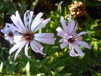 Aster dumosus        'Judith'  Rice Button Aster flowers