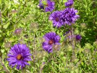 Symphyotrichum novae-angliae  'Bishop Colenso'  New England Aster flowers