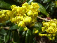 Berberis julianae   wintergreen barberry flowers