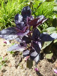 Ocimum basilicum   'Purple Opaal'  Sweet Basil leaves