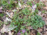 Corydalis cava   Hollowroot plant