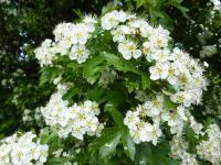 Crataegus laevigata   English hawthorn flowers