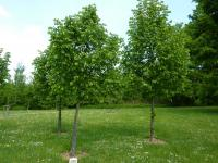 Tilia cordata   Small-leaved Lime plant
