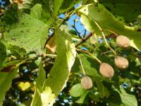 Tilia cordata   Small-leaved Lime fruits