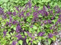 Šalvěj 'Salsa Purple' (Salvia splendens)