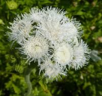 Ageratum houstonianum   'White Bouquet'  Flossflower flowers