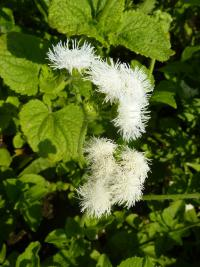 Ageratum houstonianum 'White Bouquet'  Flossflower plant