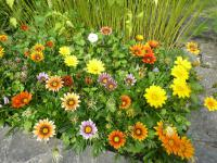 Gazania rigens   Treasureflower plant