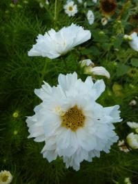 Cosmos bipinnatus   'White double'  Mexican Aster flowers