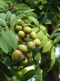 Sorbus domestica   Service Tree fruits