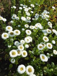 Callistephus chinensis  'White Matsumoto' China Aster plant