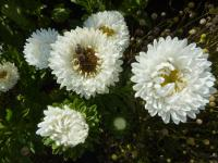 Callistephus chinensis   'White Matsumoto' China Aster flowers