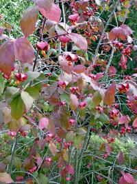 Euonymus latifolius   Large-leaved Spindle twings
