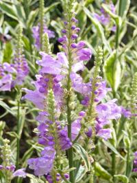 Physostegia virginiana   'Variegata'  obedient plant flowers
