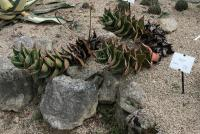 Rubble Aloe - Aloe perfoliata