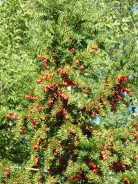 Taxus baccata   Common Yew fruits