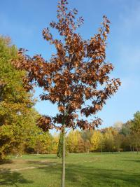 Quercus rubra   Northern Red Oak plant
