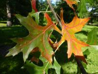 Quercus palustris   Pin Oak leaves
