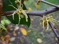 Hamamelis virginiana   American Witch-hazel flowers