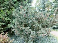 Taxus baccata   Common Yew plant