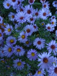 Aster dumosus  'Audrey' - Rice Button Aster