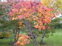 Acer japonicum  ''O taki' - Downy Japanese-maple