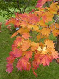 Acer japonicum  ''O taki'  Downy Japanese-maple twings
