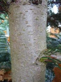 Abies nordmanniana   European silver ross or bark